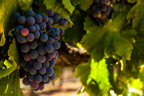 Harvest ready at Europa Village Winery, (c) Crispin Courtenay