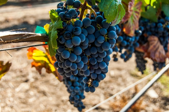 Doffo Winery grapes, heavy on the vine awaiting harvest in Temecula