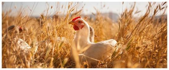 Primal Pastures Chicken (courtesy)