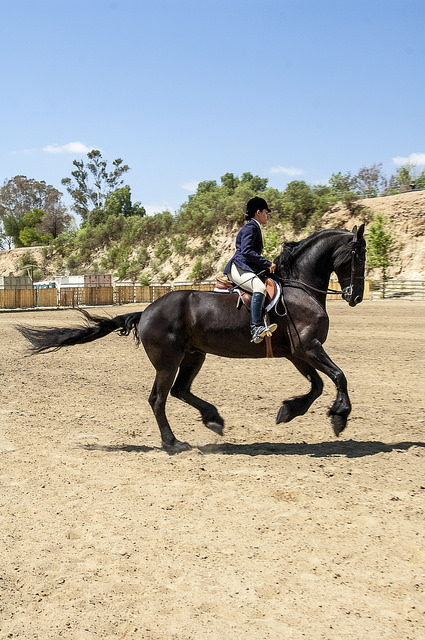 Rachel Stokes presented the gracefulness of her Friesian, which resembles a draft horse measuring approximately 15 hands at the withers, yet appeared to float across the arena.(c) Crispin Courtenay